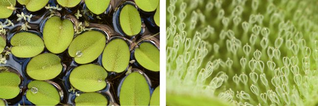 Copying the small structures of Salvinia leaves