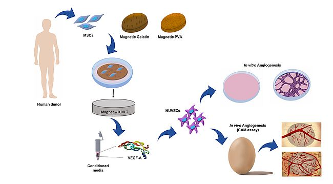 Stimulating blood vessel formation with magnets